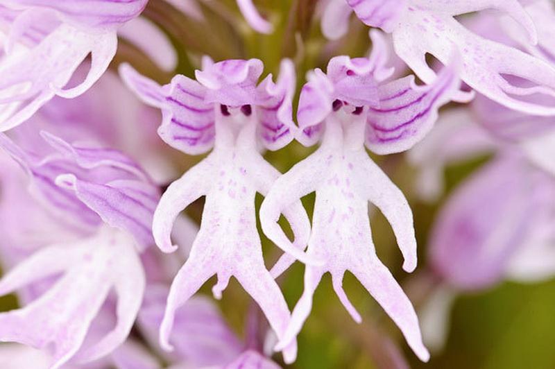 Reise germanina merkwrdige orchideen orchideen die wegen ihrer schnheit als knigin der blumen bezeichnet werden haben eine groe anzahl von unterarten manche von ihnen haben ein sehr altavistaventures Images