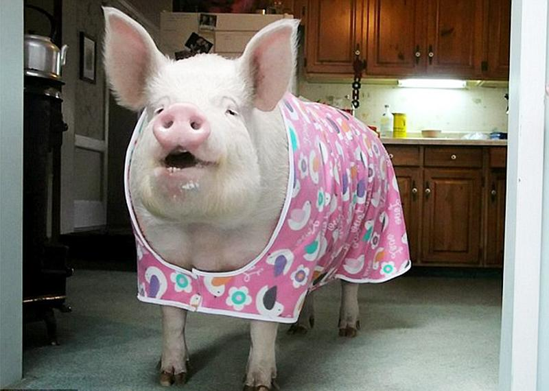 kultur minischwein wird so gro wie polarb r. Black Bedroom Furniture Sets. Home Design Ideas