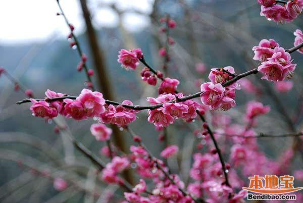 Schöne Mei Blüten Im Beijinger Winter