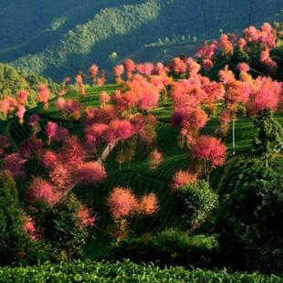 Wenn der größte Teil des Landes im Dezember friert, sieht es in den Wuliang-Gebirgen in Dali, Yunnan aus wie im Frühling. Dort steht die Kirschblüte schon in vollster Blüte.