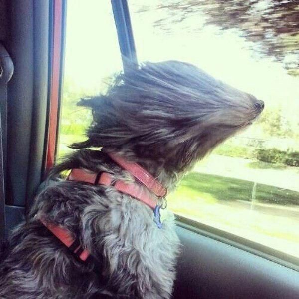 Dog Hanging Out Car Window Pictures