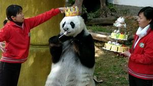 Am Samstag feiert Basi, der zweitälteste Panda der Welt, im südchinesischen Fujian seinen 35. Geburtstag.