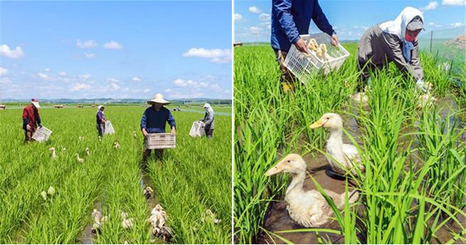 Enten in Heilongjianger Reisfeldern