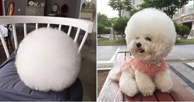 Hund mit kugelrundem Kopf wird zum Internet-Star