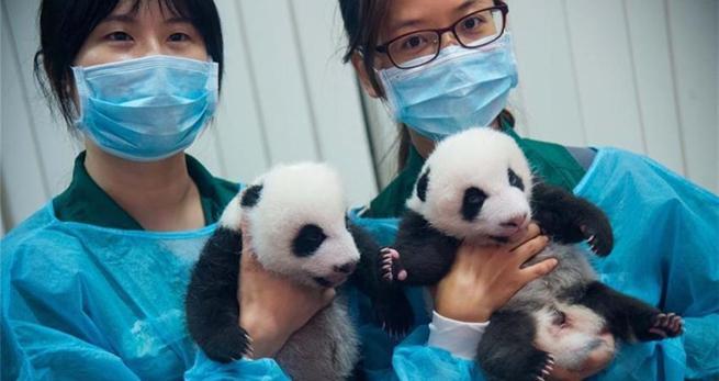 Macau pr?sentiert Panda-Zwillinge