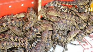 Fast 1.000 Siam-Krokodile im chinesisch-vietnamesischen Grenzgebiet entdeckt