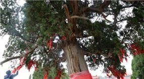 Nah am Wasser gepflanzt – Über 4000-jährige Zypresse in Shanxi