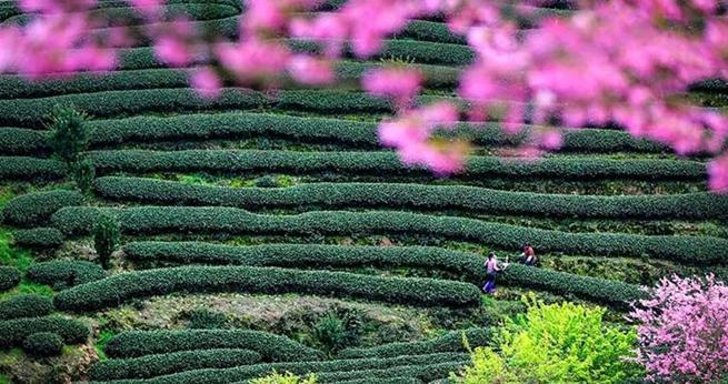 Fujian: Kirschblumen blühen im grünen Teegarten