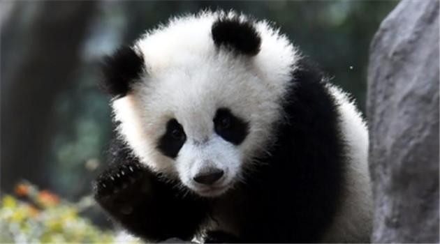warum sind pandas schwarz und wei r tsel gel st. Black Bedroom Furniture Sets. Home Design Ideas