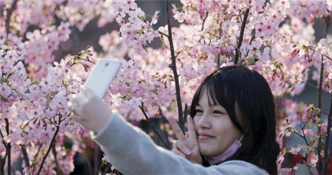Kirschblüten ziehen zahlreiche Touristen an