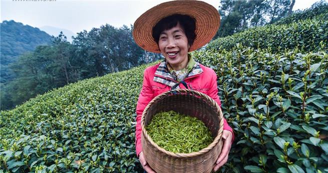 West Lake Longjing-Teeblätter vor dem Qingming-Festival geerntet