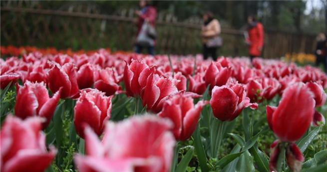 600.000 Tulpenblütenin Wuhan künden vom nahenden Frühling