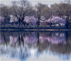 Beijing in Blüte: Ein Blumenmeer im Frühling