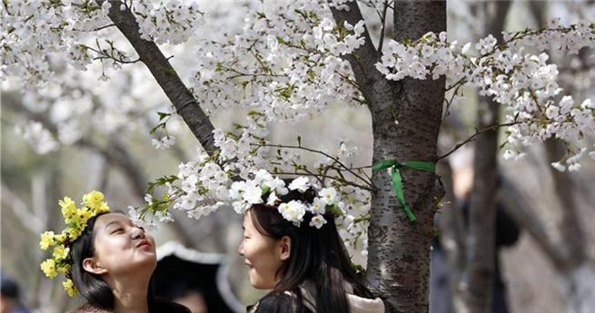 Kirschblüten im Yuyuantan-Park in Beijing