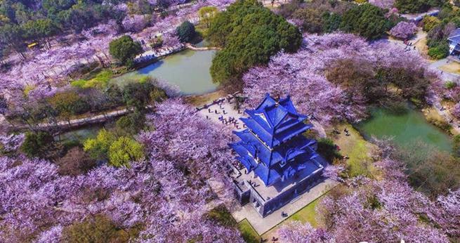 Wuxi: Sch?ne Kirschblumen stehen in voller Blüte