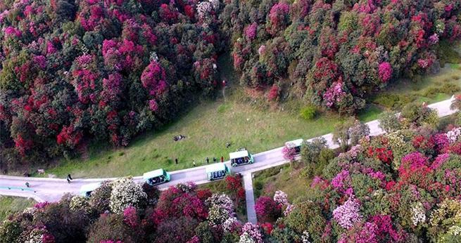 Hundert Quadratkilometer gro?er Azaleenwald in Guizhou
