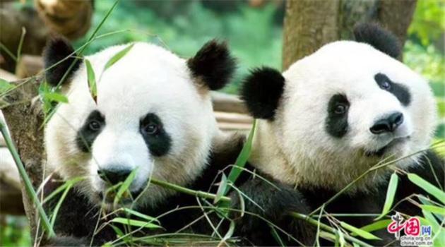 Zwei Große Pandas kommen in den Niederlanden an