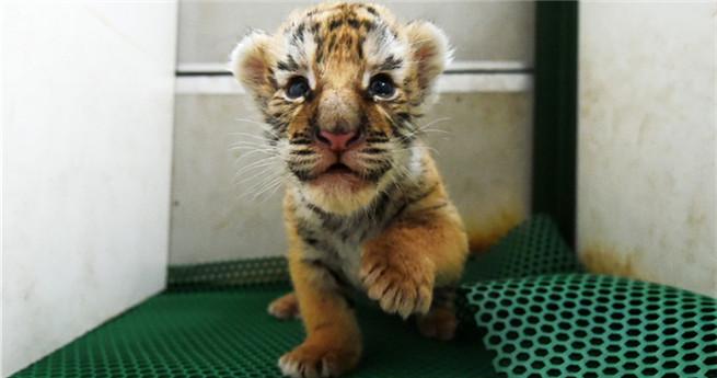50 neue Tigerbabys in Nordchina