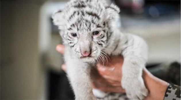 Zoo in Yunnan begeistert mit Neugeborenen weißen Tigern
