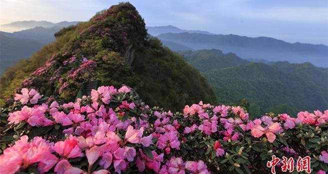 Azaleenblüte in Sichuan