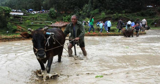 Guizhou feiert Zugochsen-Festival