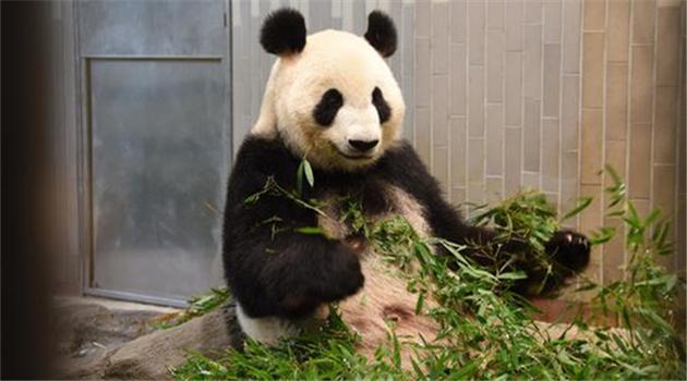 Tokio: Riesenpanda-Baby im Zoo geboren