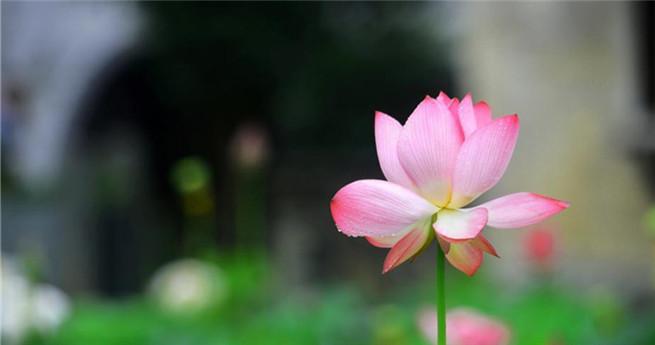 Wuyuans blühende Lotosblumen betören die Touristen