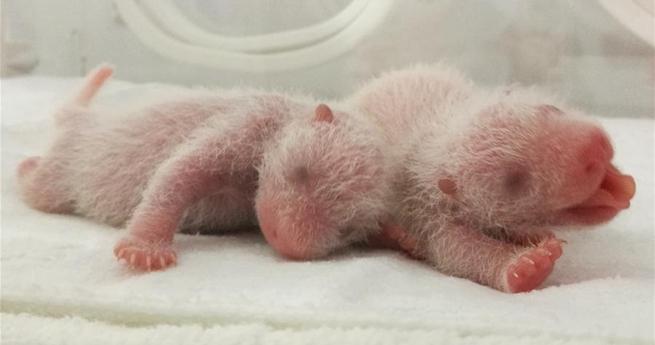 Drei Pandababies in der Provinz Shaanxi geboren