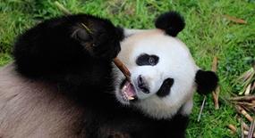 Pandapaar auf dem Weg in den Zoo Berlin