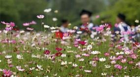 Sch?ne blühende Galsang-Blumen auf Universit?tscampus in Nanjing