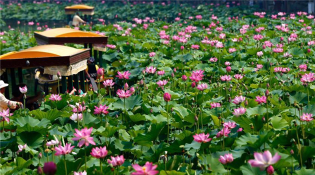 Beihai-Park: Lotos in voller Blüte
