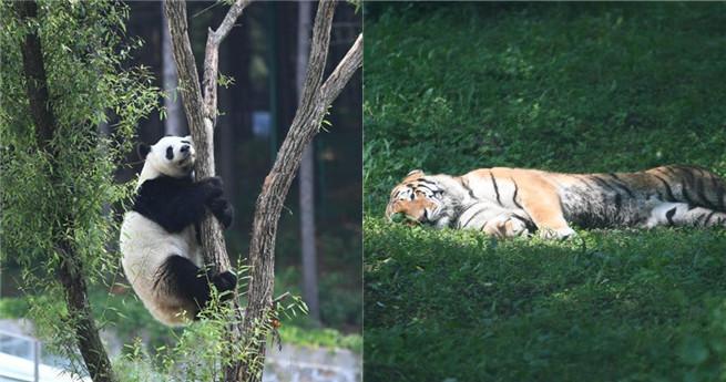 Tiger und Pandas erholen sich in einer Sommerfrische