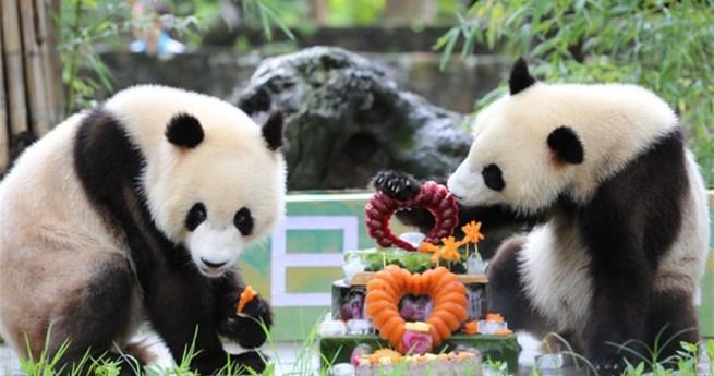 Riesenpandazwillinge feiern in Sichuan ihren zweiten Geburtstag