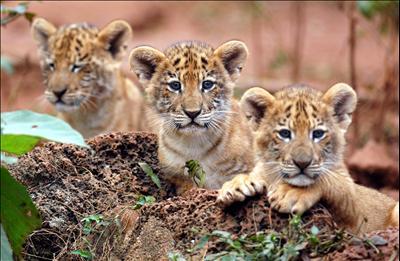 海南熱帯野生動植物園で20日、3つ子の「ライガー」が公開された。「ライガー」は、ライオンとトラ(タイガー)の交配による雑種。同園では2004年から人工飼育の環境下