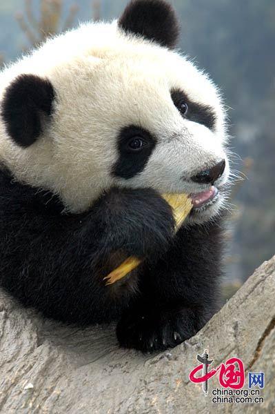 资料图片:熊猫幼仔在吃竹笋 罗小韵/摄影