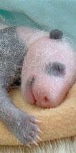 超可愛い!パンダの成長日記
