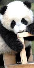雅安パンダ基地の可愛いパンダ