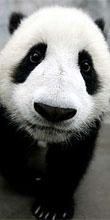 可愛いベビーパンダ