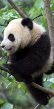 雅安碧峰峡基地の腕白な子パンダ