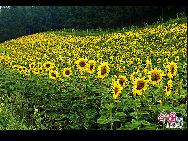 北京の真北、河北省豊寧満州族自治県にある壩上草原は、北京から一番近い天然の草原で、「京北第一草原」と呼ばれている。