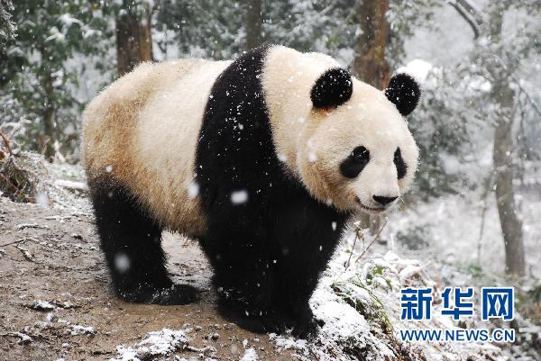 パンダの画像 p1_19