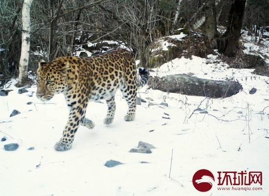 河北省小五台山国家級自然保護区のヒョウ