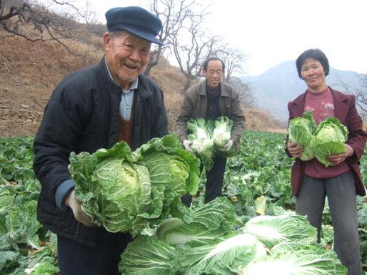 絶大の人気を博す山東省淄博市淄川区の有機白菜
