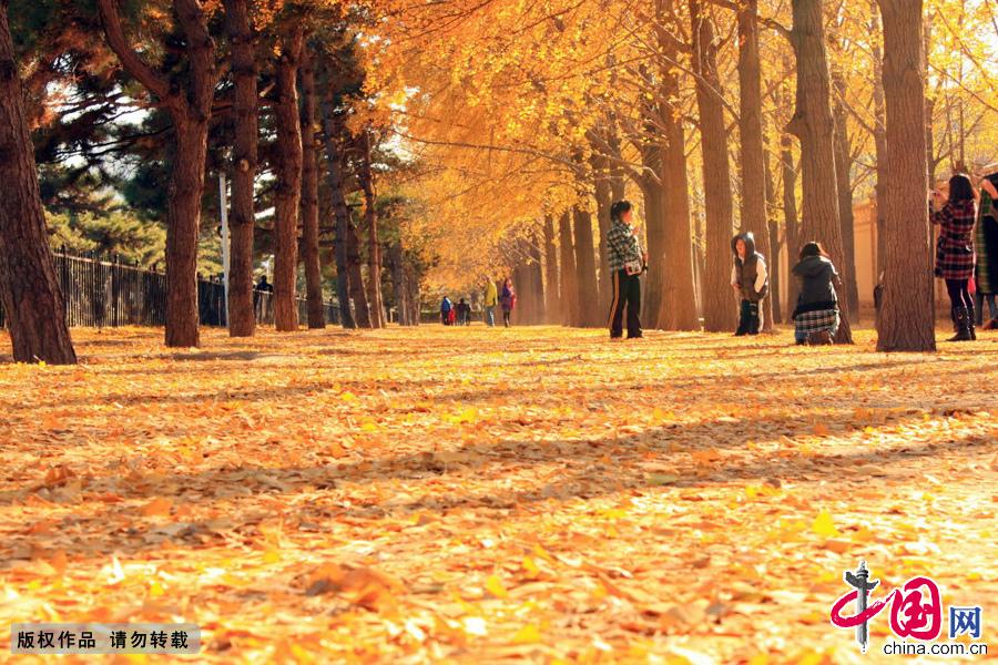 北京钓鱼台银杏大道,座落在北京城西三里河的钓鱼台国宾馆的东墙外。银杏树满树金黄,在阳光的照耀下,发出金灿灿的光芒。