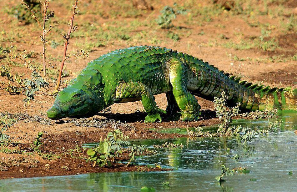 """南非鳄鱼被水藻覆盖似""""绿巨人"""""""