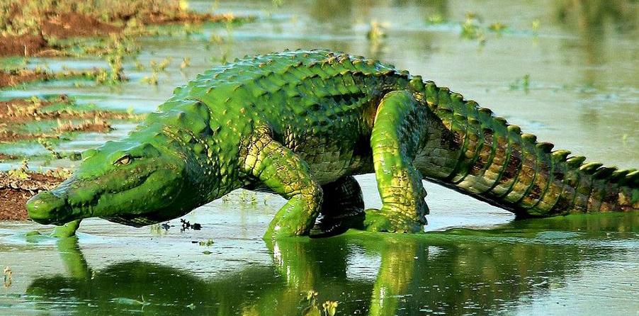 南アフリカのワニ、藻に覆われ「シュレック」にコメント