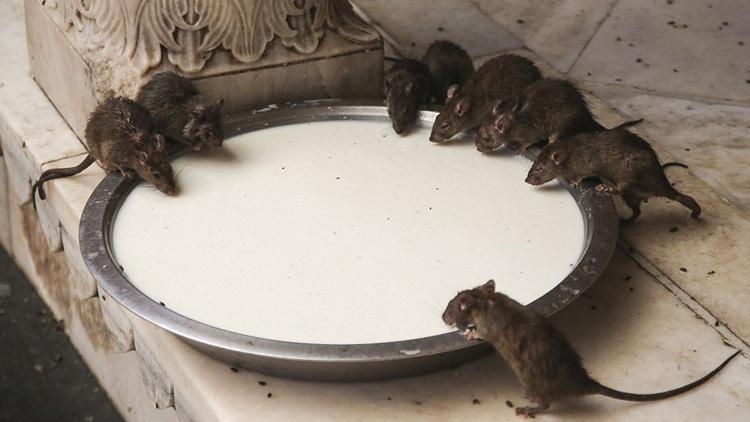ネズミの画像 p1_24