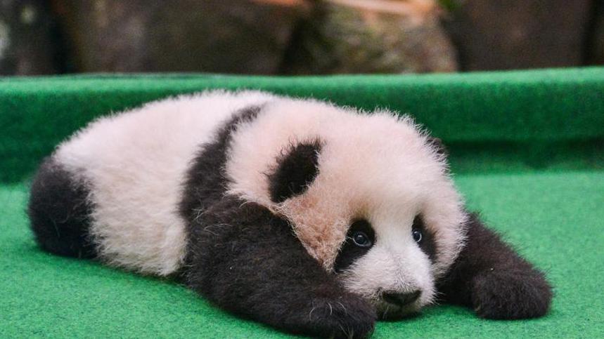 壁纸 大熊猫 动物 狗 狗狗 859_483