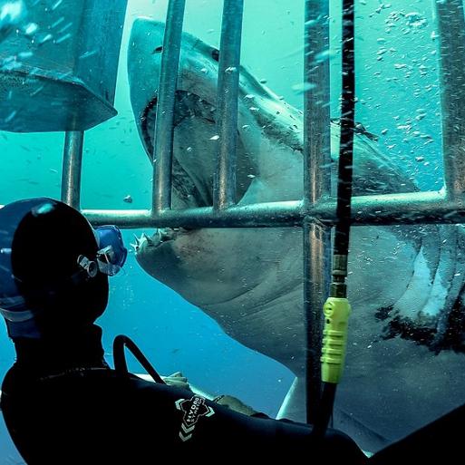 勇敢なダイバー、海底でホホジロザメと密接な交流コメント