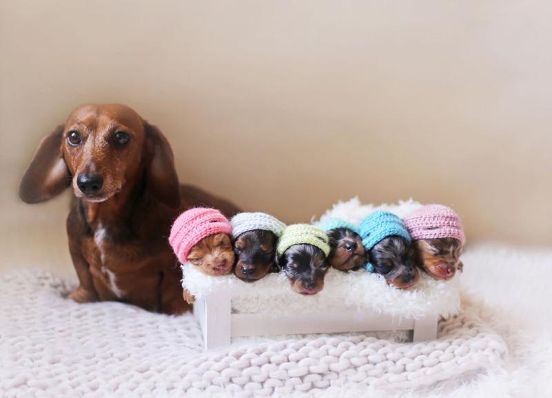Image result for 犬 Dachshund 美しい